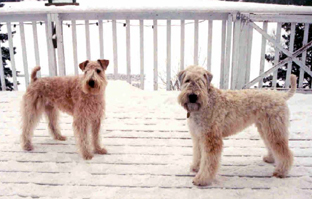 Wheatens On The Red